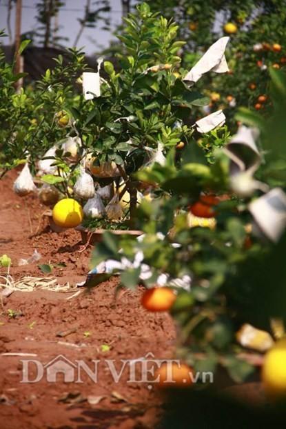 Vườn cây 'ngũ-thất-cửu quả' độc nhất vô nhị giữa Thủ đô - ảnh 5