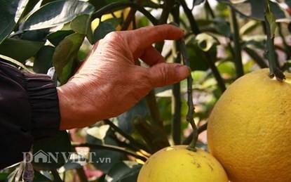 Vườn cây 'ngũ-thất-cửu quả' độc nhất vô nhị giữa Thủ đô - ảnh 7