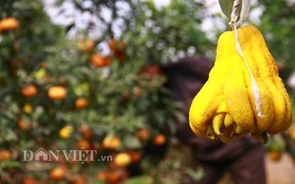 Vườn cây 'ngũ-thất-cửu quả' độc nhất vô nhị giữa Thủ đô - ảnh 8