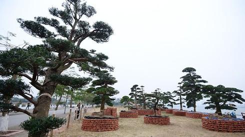 Vườn tùng trăm tuổi giá hàng chục tỷ đồng bán Tết ở Hà Nội - ảnh 1
