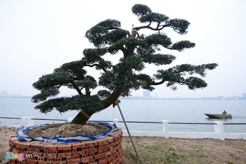 Vườn tùng trăm tuổi giá hàng chục tỷ đồng bán Tết ở Hà Nội - ảnh 2