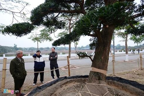 Vườn tùng trăm tuổi giá hàng chục tỷ đồng bán Tết ở Hà Nội - ảnh 3