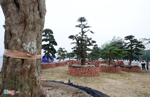 Vườn tùng trăm tuổi giá hàng chục tỷ đồng bán Tết ở Hà Nội - ảnh 4