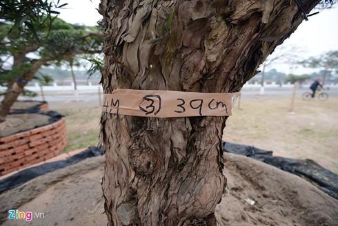 Vườn tùng trăm tuổi giá hàng chục tỷ đồng bán Tết ở Hà Nội - ảnh 5
