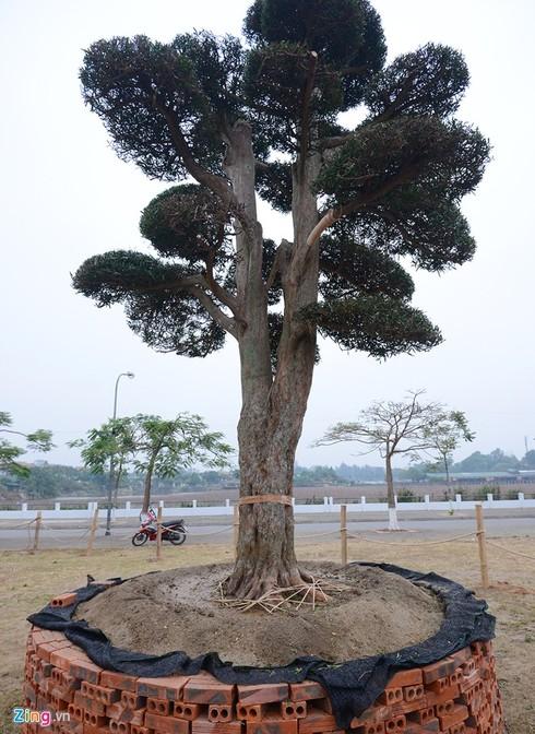 Vườn tùng trăm tuổi giá hàng chục tỷ đồng bán Tết ở Hà Nội - ảnh 6