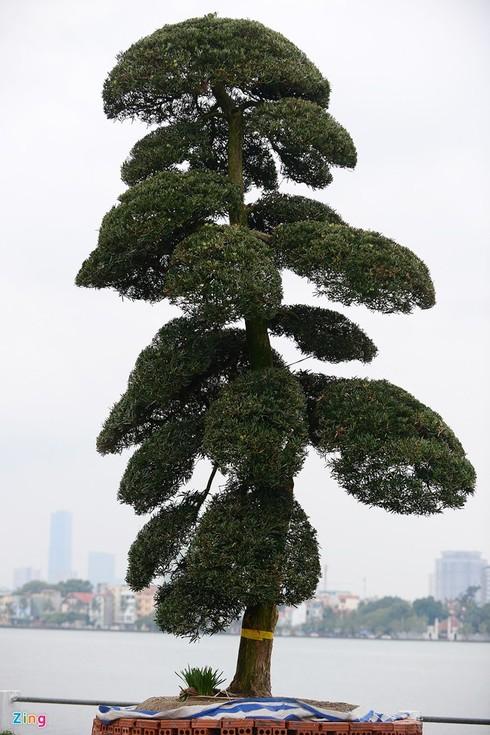 Vườn tùng trăm tuổi giá hàng chục tỷ đồng bán Tết ở Hà Nội - ảnh 7