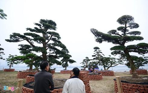 Vườn tùng trăm tuổi giá hàng chục tỷ đồng bán Tết ở Hà Nội - ảnh 8