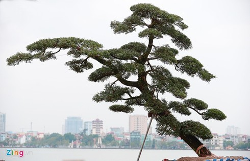Vườn tùng trăm tuổi giá hàng chục tỷ đồng bán Tết ở Hà Nội - ảnh 9