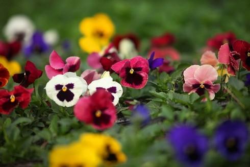 Cuối tuần đi vườn hoa Xuân Quan đón Tết sớm - ảnh 3