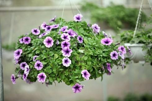 Cuối tuần đi vườn hoa Xuân Quan đón Tết sớm - ảnh 6