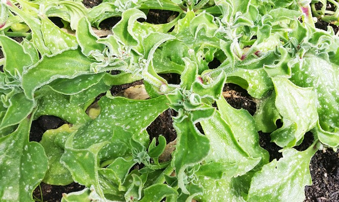Trang trại rau organic triệu đô ở Đà Lạt - ảnh 1