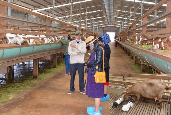 Chuyện ở trang trại dê sữa lớn nhất Việt Nam - ảnh 1