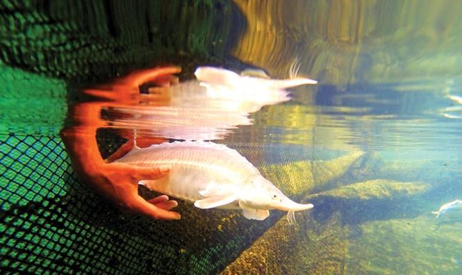 Tuyệt phẩm từ cá tầm - loài cá hoàng gia - ảnh 3