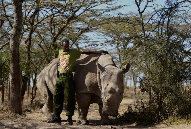 Cận cảnh những chú tê giác trắng hiếm hoi ở Kenya - ảnh 6