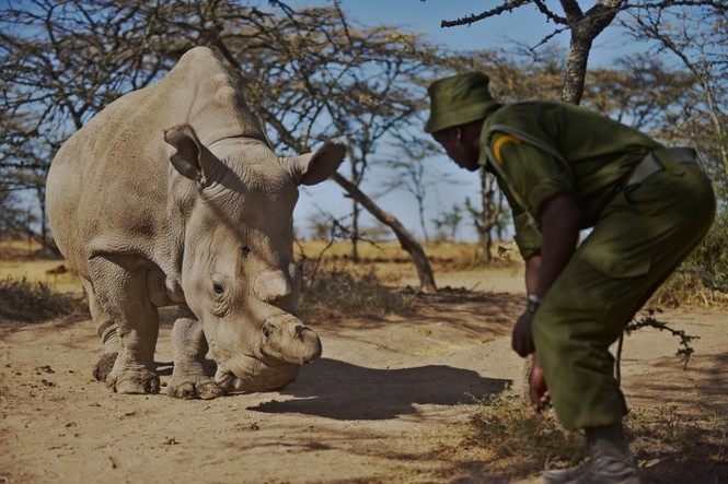 Cận cảnh những chú tê giác trắng hiếm hoi ở Kenya - ảnh 7