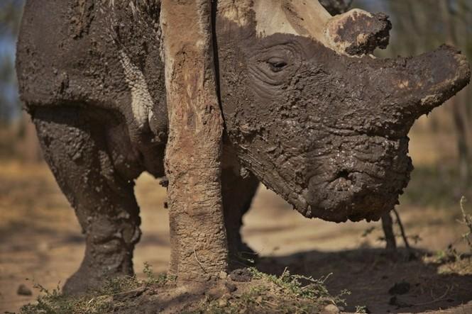 Cận cảnh những chú tê giác trắng hiếm hoi ở Kenya - ảnh 3