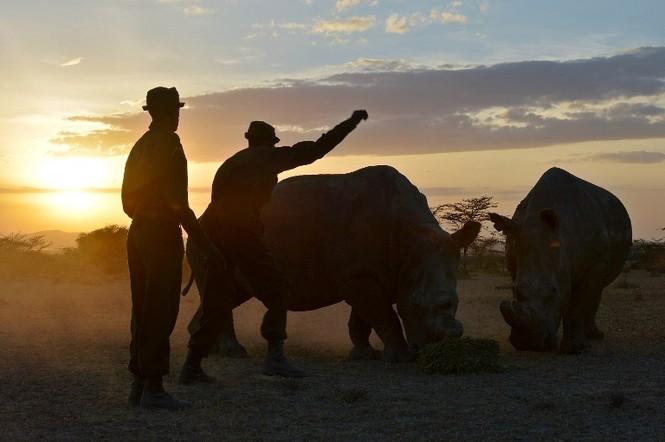 Cận cảnh những chú tê giác trắng hiếm hoi ở Kenya - ảnh 4