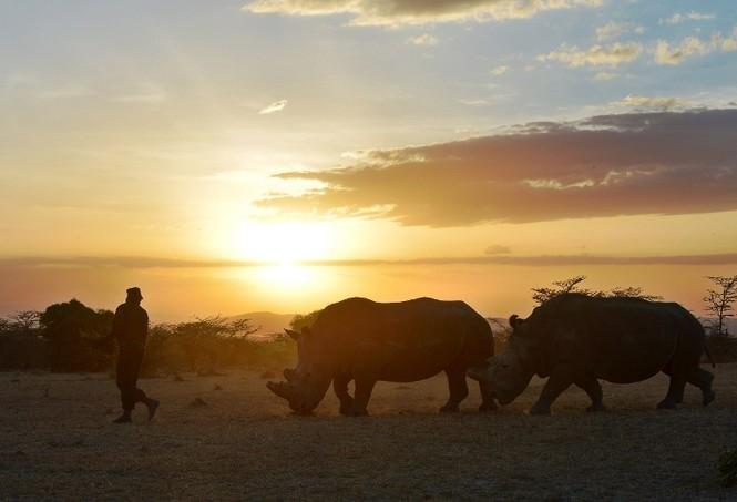 Cận cảnh những chú tê giác trắng hiếm hoi ở Kenya - ảnh 5