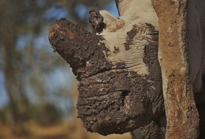 Cận cảnh những chú tê giác trắng hiếm hoi ở Kenya - ảnh 1