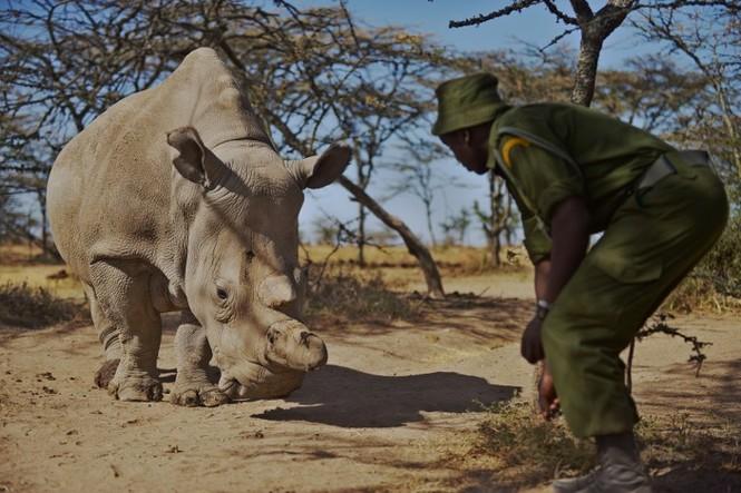 Cận cảnh những chú tê giác trắng hiếm hoi ở Kenya - ảnh 2