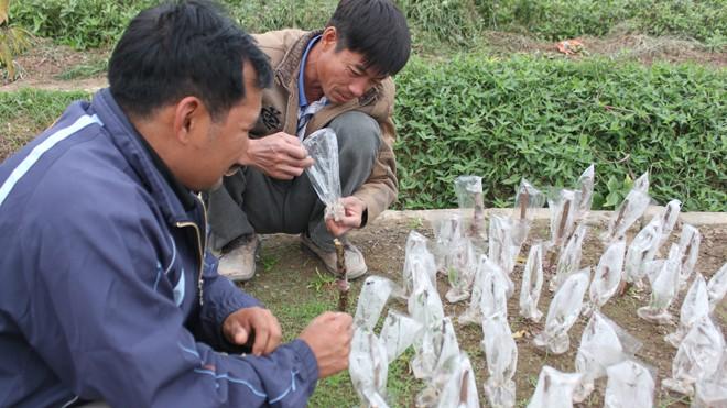 Người dân Vân Tảo tất bật chuẩn bị đào, quất Tết - ảnh 8