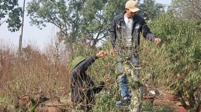 Người dân Vân Tảo tất bật chuẩn bị đào, quất Tết - ảnh 3