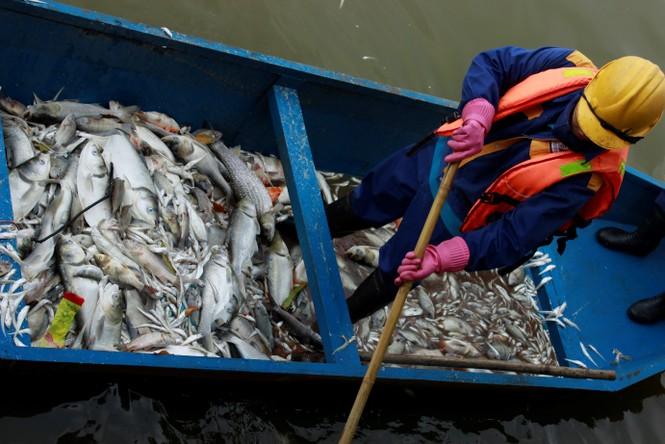 Cá chép 5-6 kg chết nổi trắng hồ Tây - ảnh 6