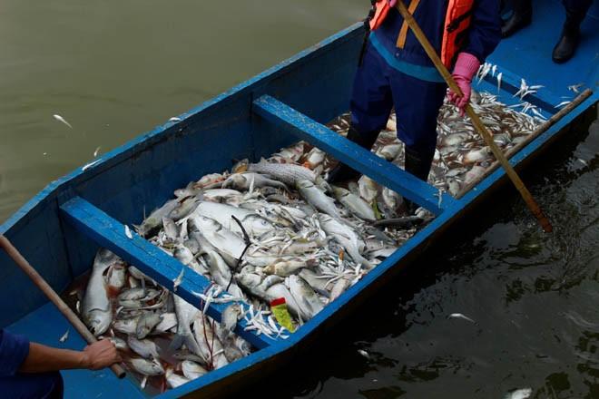 Cá chép 5-6 kg chết nổi trắng hồ Tây - ảnh 7
