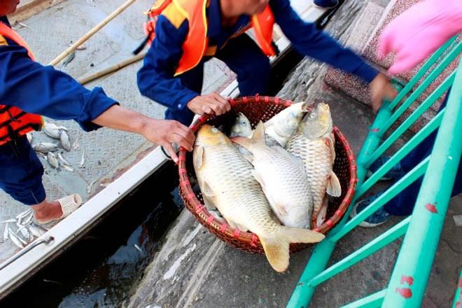 Cá chép 5-6 kg chết nổi trắng hồ Tây - ảnh 10