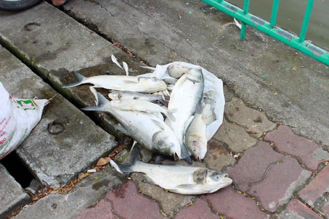 Cá chép 5-6 kg chết nổi trắng hồ Tây - ảnh 8