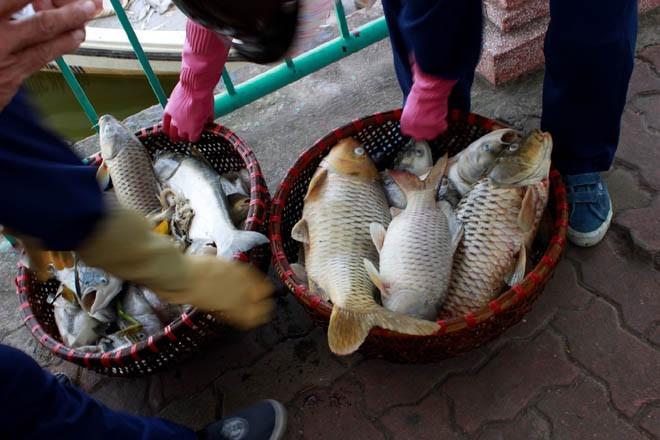 Cá chép 5-6 kg chết nổi trắng hồ Tây - ảnh 9