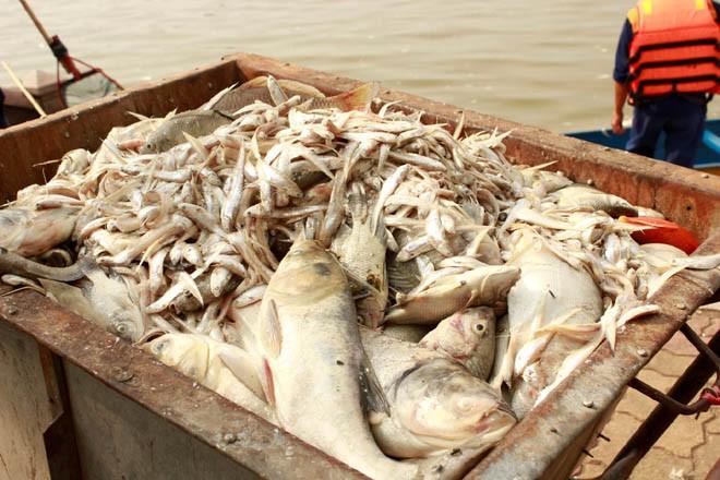 Cá chép 5-6 kg chết nổi trắng hồ Tây - ảnh 13