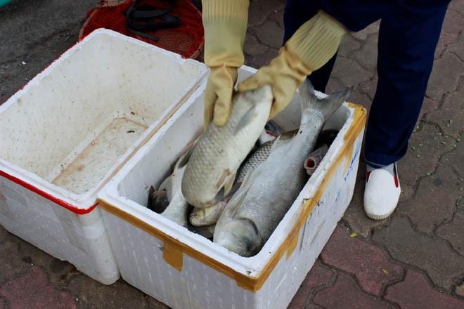 Cá chép 5-6 kg chết nổi trắng hồ Tây - ảnh 12