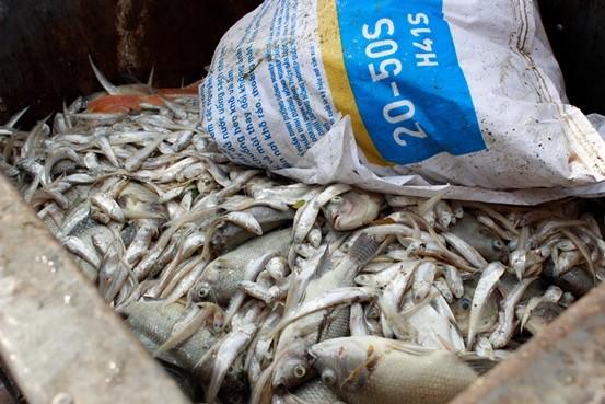 Cá chép 5-6 kg chết nổi trắng hồ Tây - ảnh 14