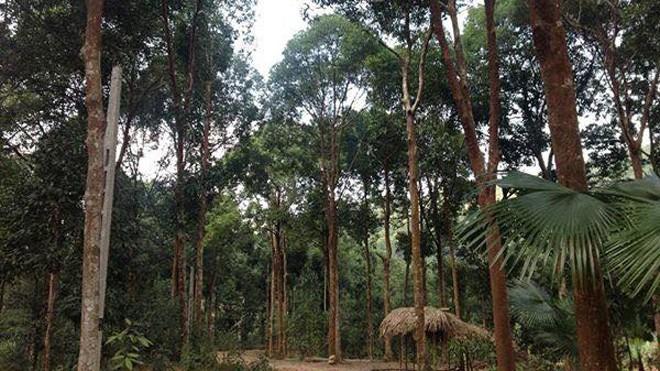 Mãn nhãn ngắm thiếu nữ Dao trong rừng quế       - ảnh 3