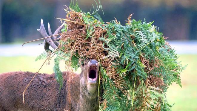 Hươu đực làm đỏm với 'tóc giả' bằng lá cây - ảnh 1