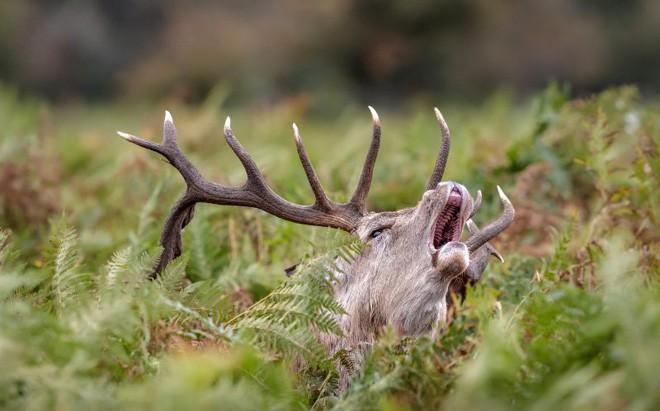 Hươu đực làm đỏm với 'tóc giả' bằng lá cây - ảnh 2