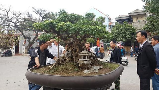 Cuộc đọ cây tiền tỷ của dân làng Triều Khúc - ảnh 4