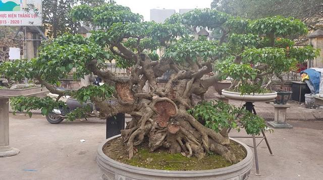 Cuộc đọ cây tiền tỷ của dân làng Triều Khúc - ảnh 5