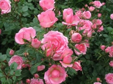 Bí quyết làm đẹp bằng hoa của Ấn Ðộ - ảnh 1