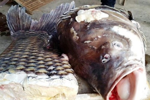 Đưa cá hô 110 kg từ miền Tây về Sài Gòn tiêu thụ - ảnh 1
