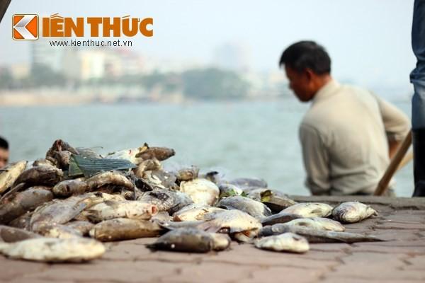 Cá chết hàng loạt, chất đống ở hồ Tây - ảnh 7