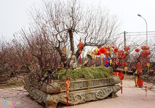 Vườn đào gốc cổ rót tiền tỷ, thu bạc cắc của lão nông Hà Nội - ảnh 1