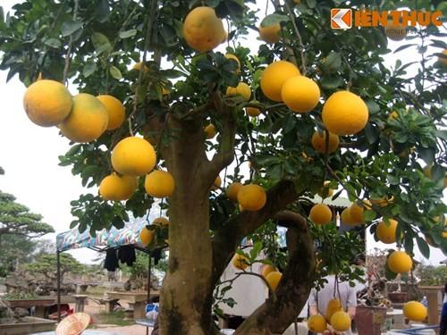 Vẻ đẹp hiếm có của bưởi cảnh trăm triệu ở Hà Nội - ảnh 1