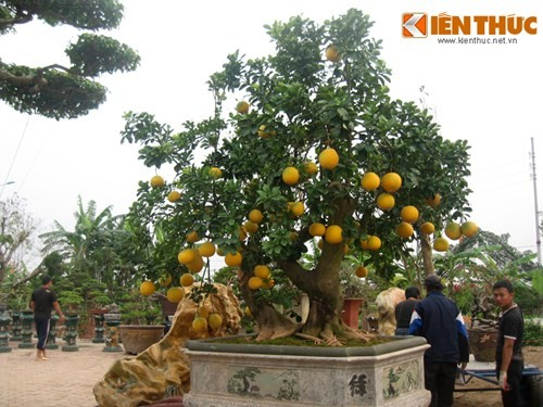 Vẻ đẹp hiếm có của bưởi cảnh trăm triệu ở Hà Nội - ảnh 2