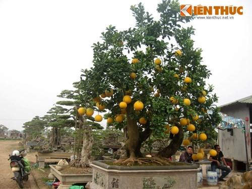 Vẻ đẹp hiếm có của bưởi cảnh trăm triệu ở Hà Nội - ảnh 4