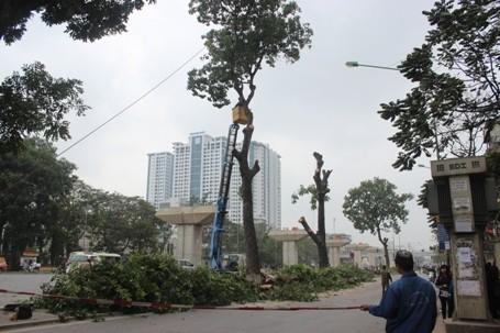 Chặt hạ những cây cổ thụ cuối cùng trên đường Nguyễn Trãi - ảnh 1