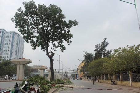 Chặt hạ những cây cổ thụ cuối cùng trên đường Nguyễn Trãi - ảnh 2