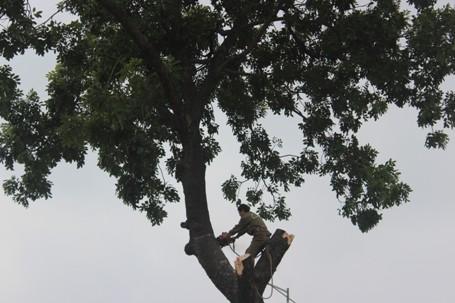 Chặt hạ những cây cổ thụ cuối cùng trên đường Nguyễn Trãi - ảnh 3