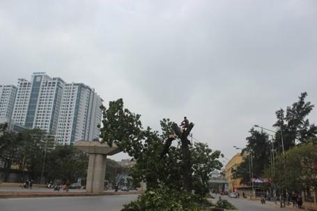 Chặt hạ những cây cổ thụ cuối cùng trên đường Nguyễn Trãi - ảnh 4